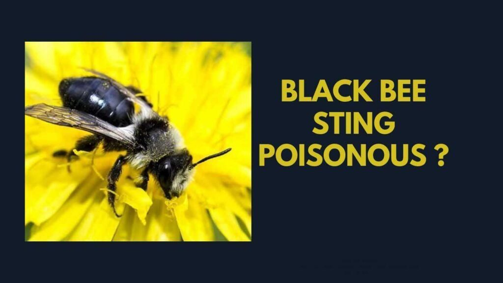 The black bee is a small kind of social insect of the genus honeybee.